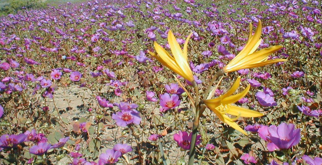 La Fleur Qui Fait Le Printemps… | Echosciences - Grenoble encequiconcerne Fleur Qui Pousse Au Printemps