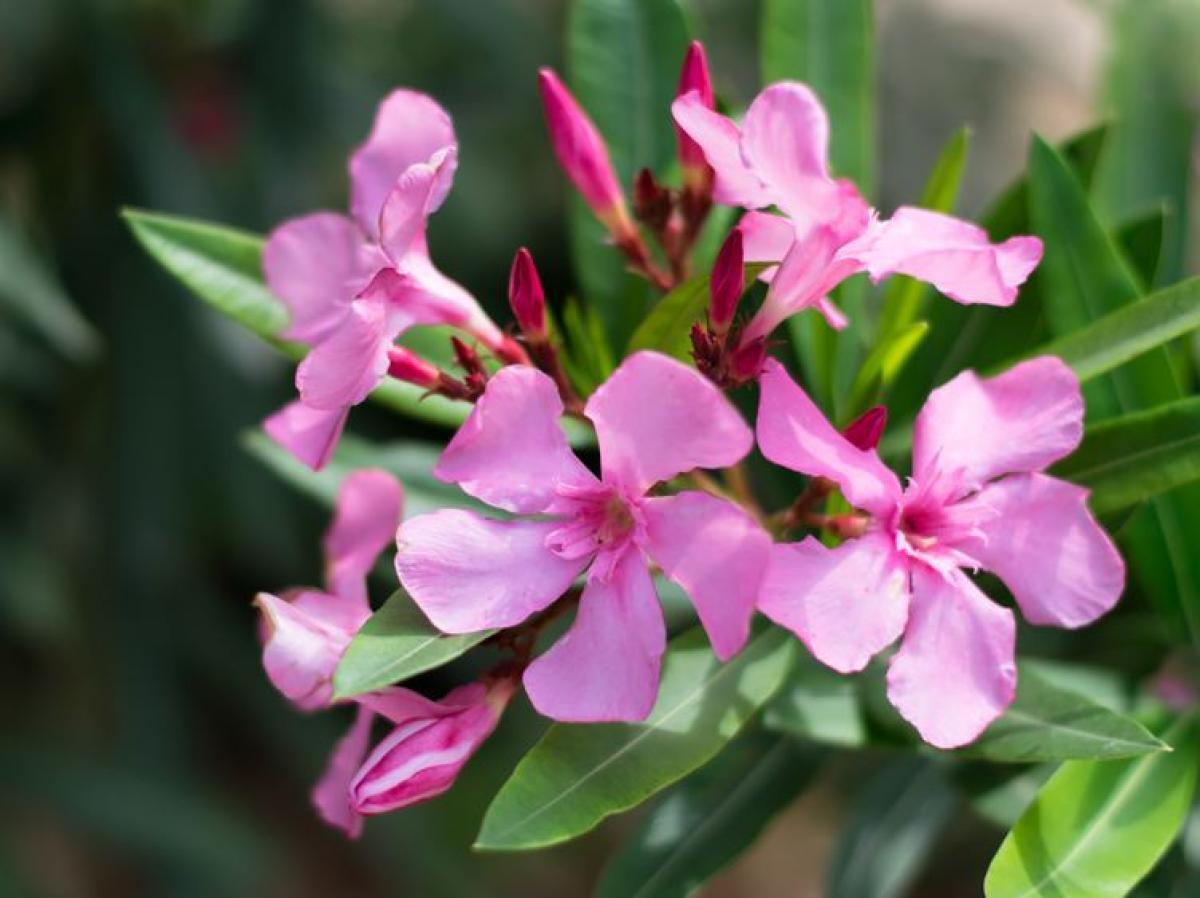 Laurier Rose : Plantation Et Entretien Pour Une Belle Floraison serapportantà Fleur Qui Pousse Au Printemps
