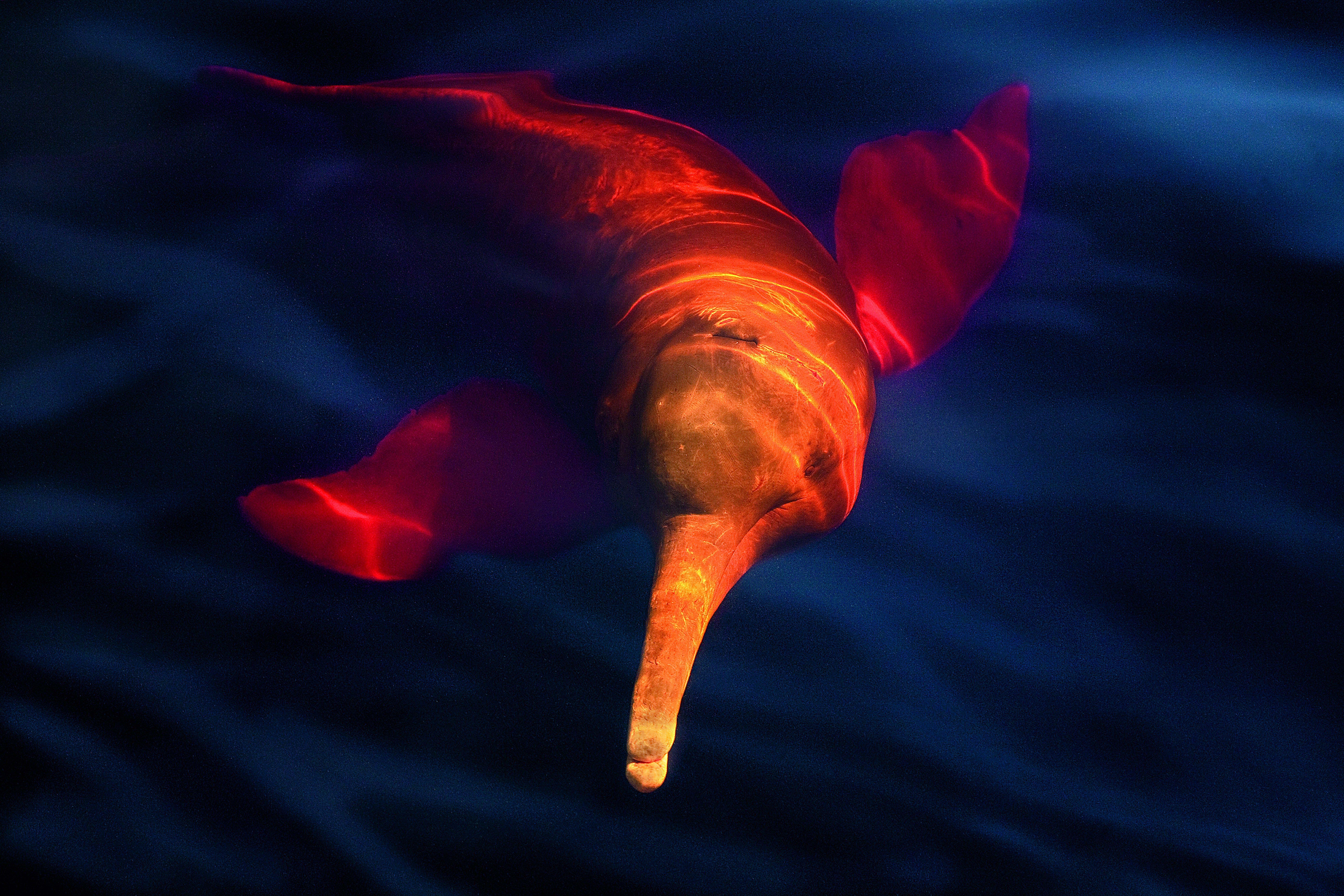 Le Dauphin Rose De L'amazonie Habite Les Bassins De L encequiconcerne Dauphin Amazonie