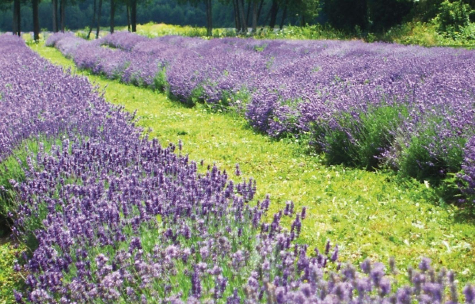 Le Temps De La Lavande | Le Devoir destiné Fleur Qui Pousse Au Printemps