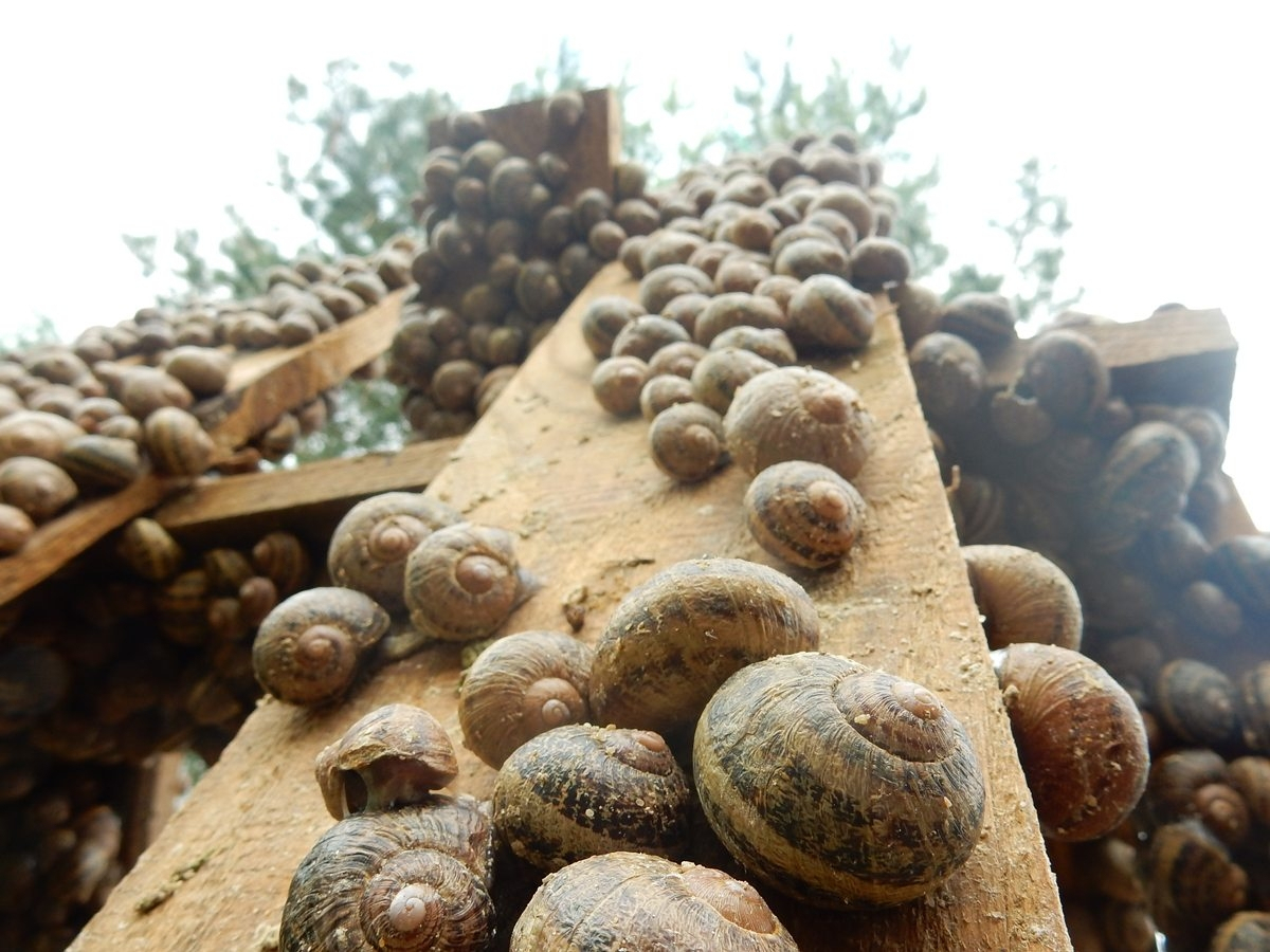 L'élevage D'escargots : Un Outil Pédagogique Et Gastronomique destiné Elevage Escargot