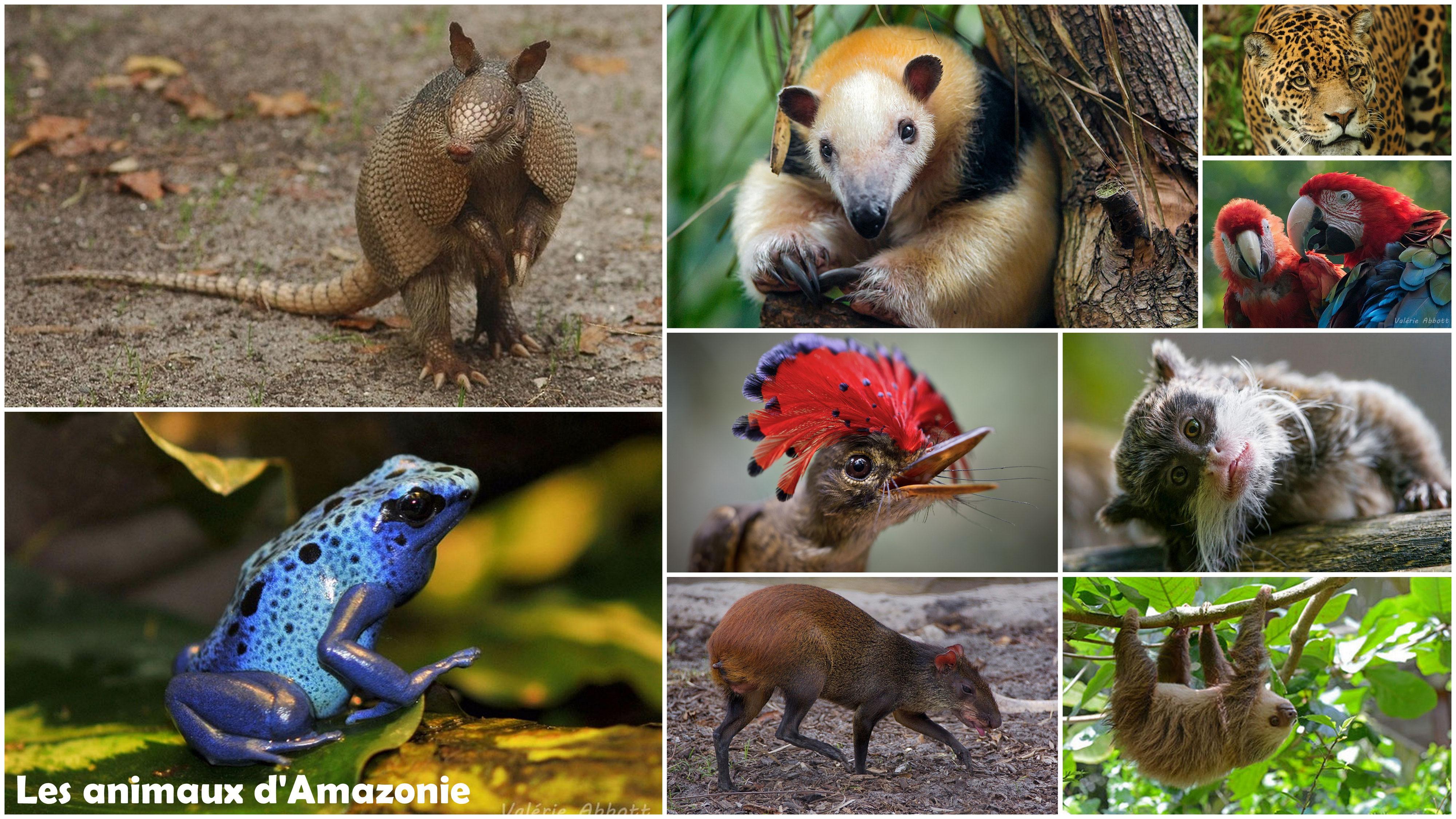 Les Animaux De La Forêt Amazonienne - 700 Fiches Animaux À pour Image D Animaux De La Foret