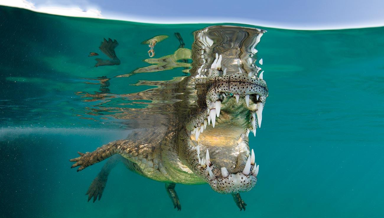 Les Crocodiliens, Champions De La Morsure | Pour La Science intérieur Photo De Crocodile A Imprimer