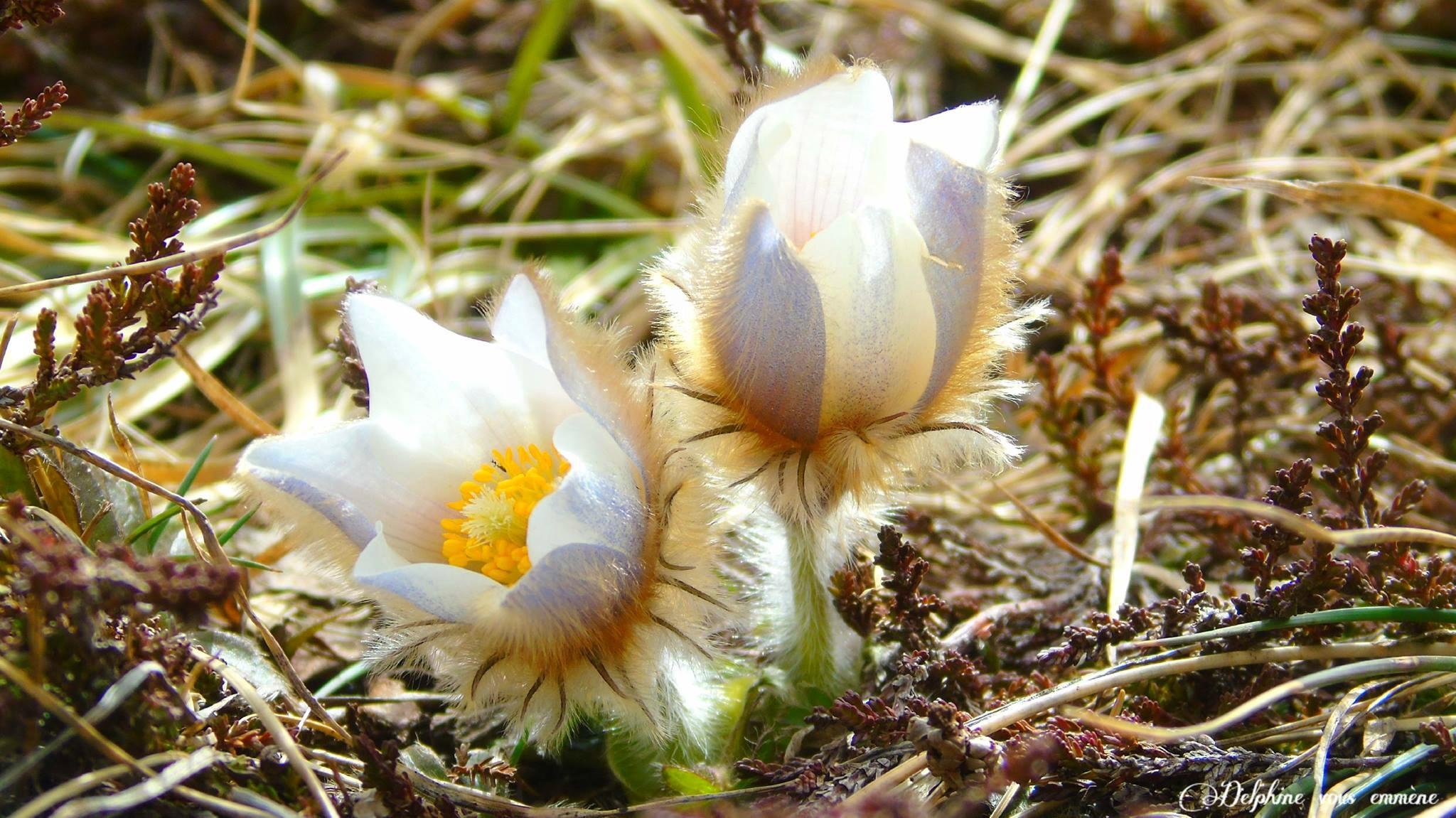 Les Fleurs Blanches - Delphine Vous Emmène Dans Les Pyrénées avec Fleur Qui Pousse Au Printemps