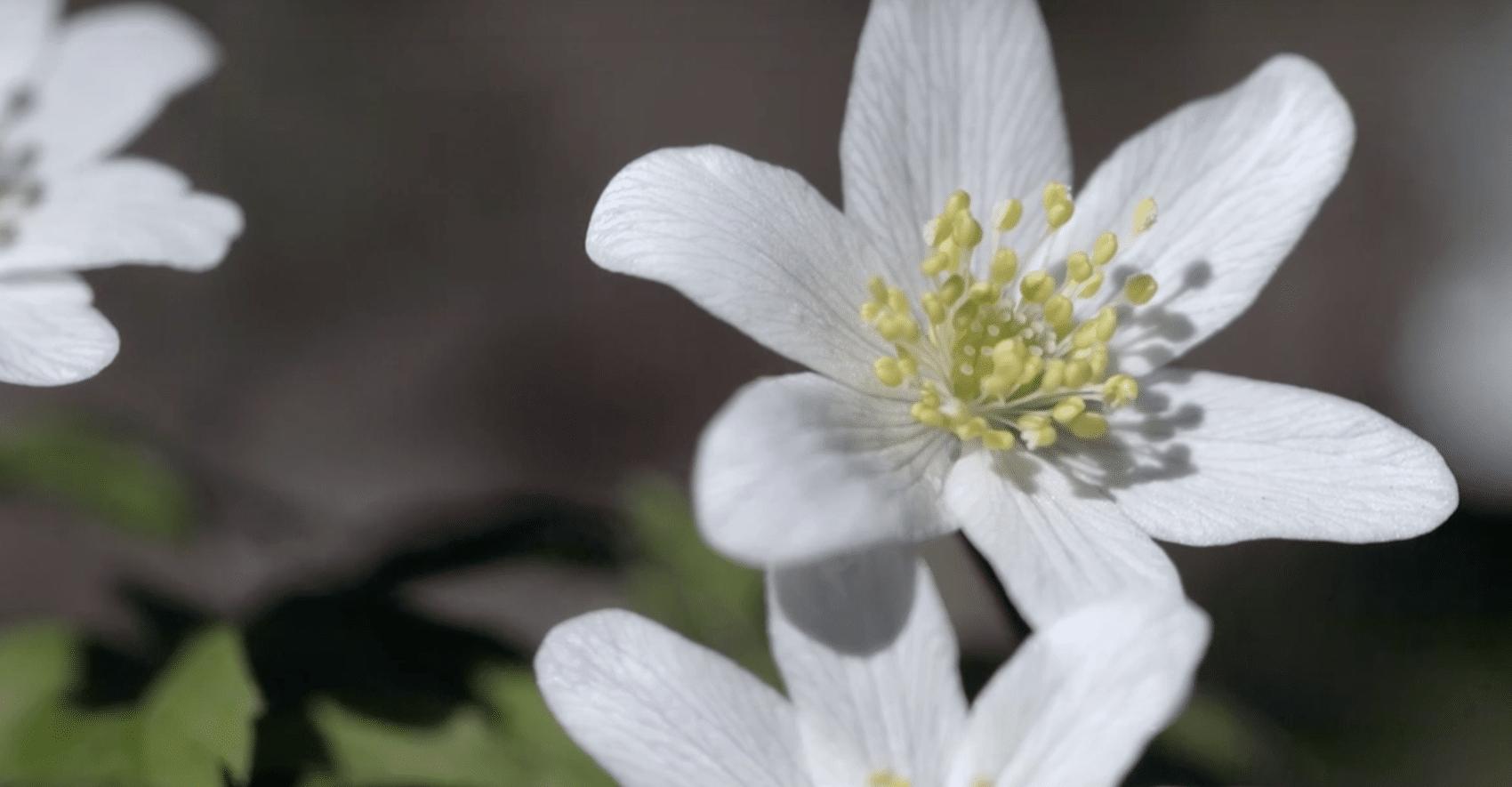 Les Fleurs Sauvages Des Forêts Françaises - Oden Cosmétiques avec Fleur Qui Pousse Au Printemps