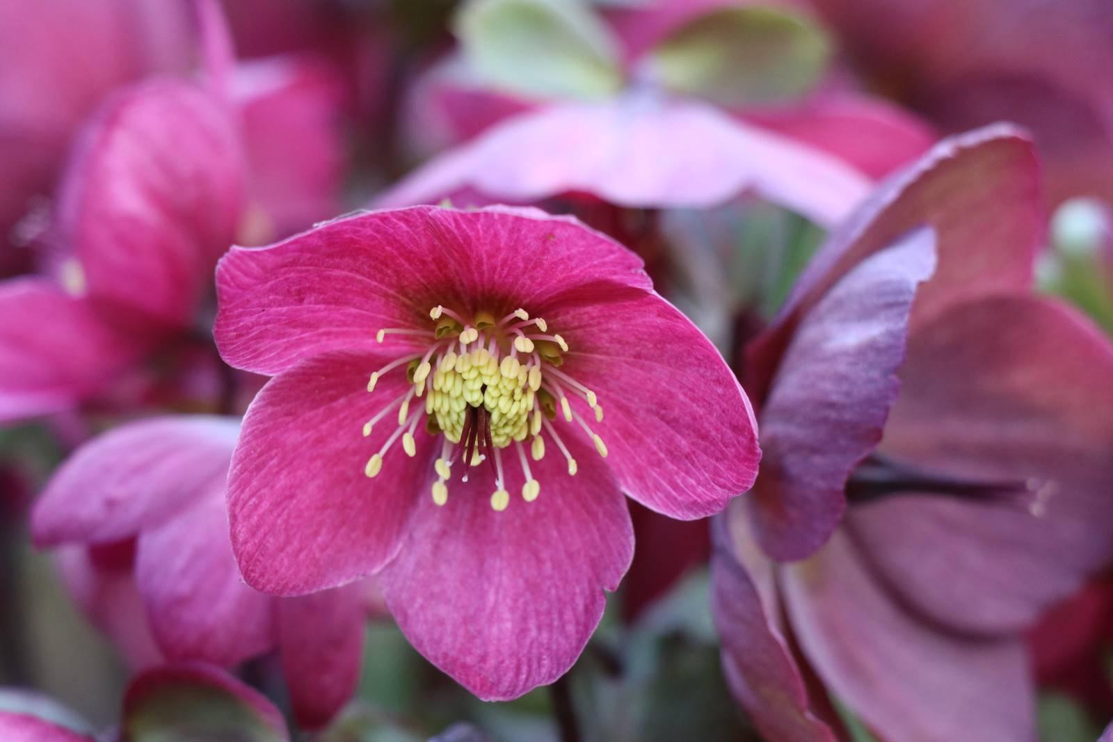 Les Hellébores, Magiques! - La Terre Est Un Jardin à Fleur Qui Pousse Au Printemps