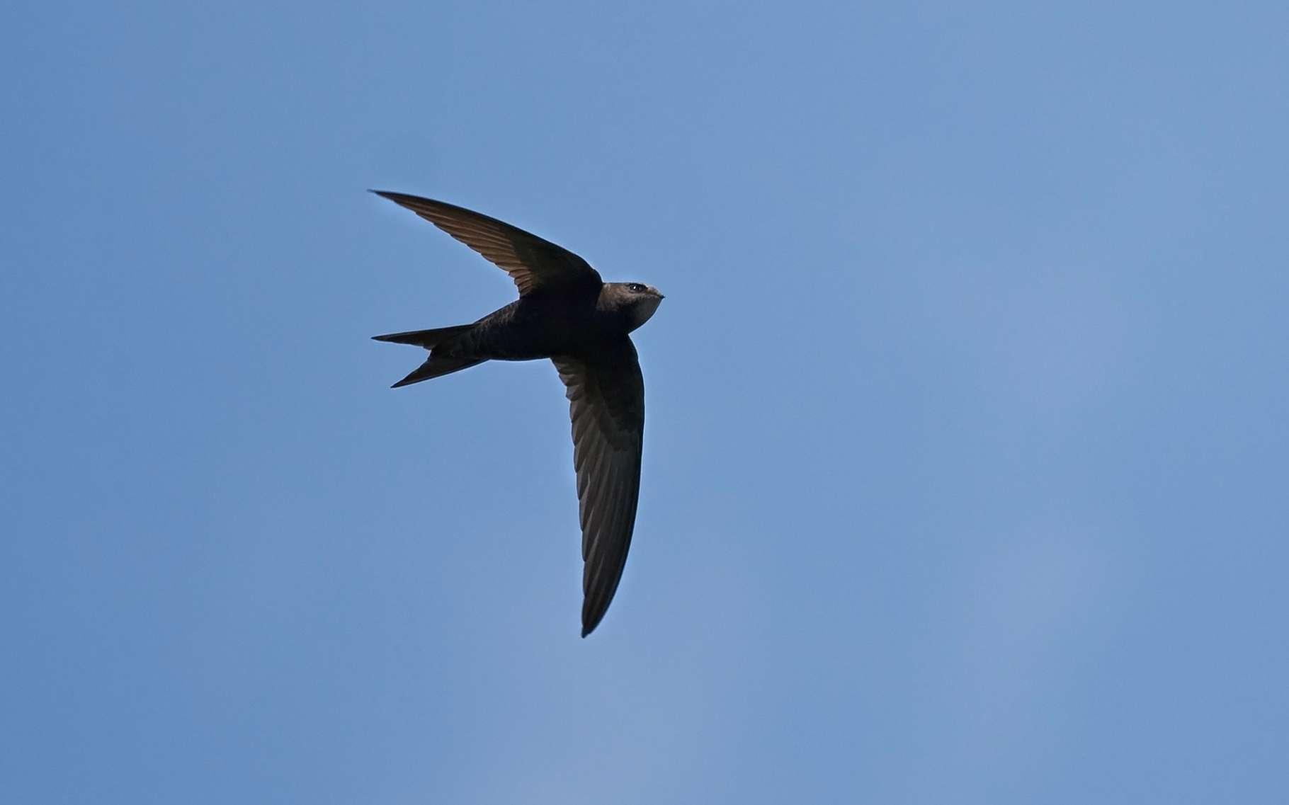 Les Oiseaux Dorment-Ils En Volant ? destiné Vol Petit Oiseau