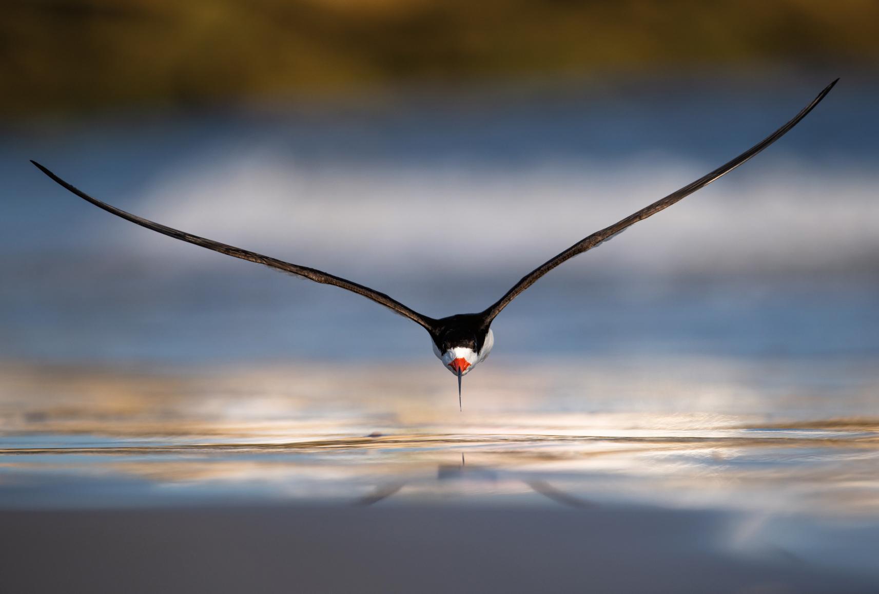 Les Plus Belles Photos D'oiseaux : En Plein Vol | Playbac tout Vol Petit Oiseau
