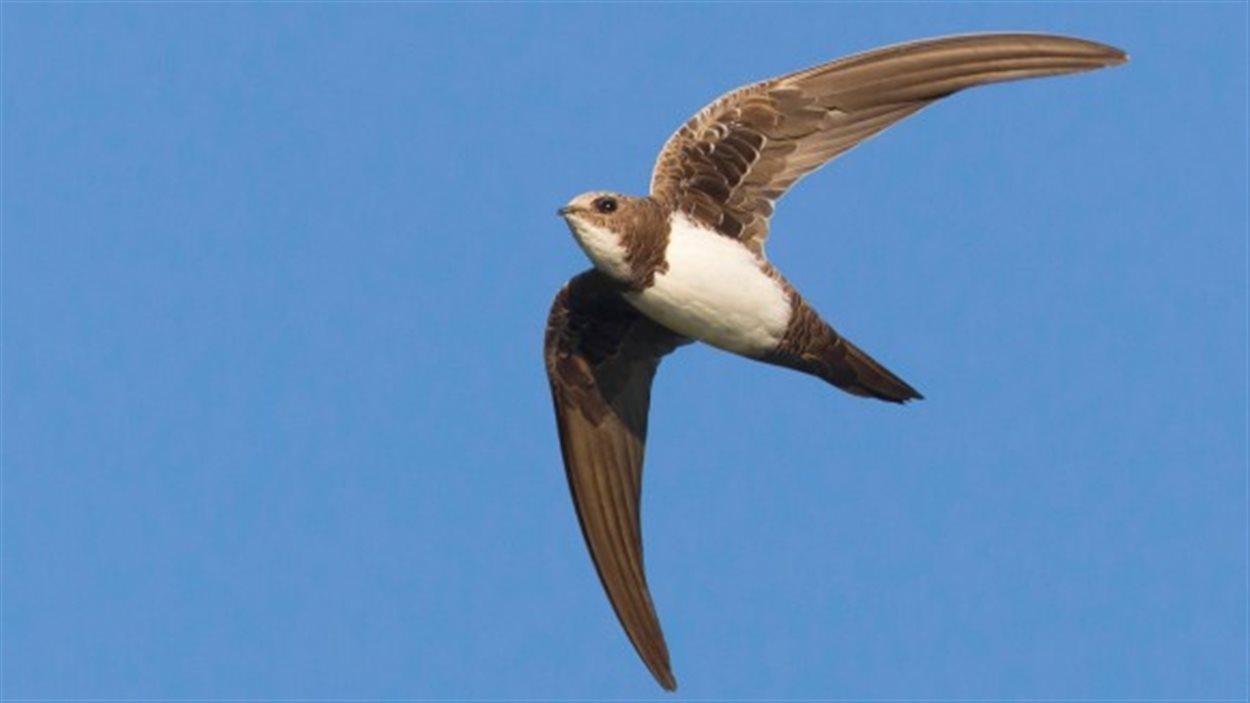 L'oiseau Qui Vole 200 Jours Sans Arrêt | Radio-Canada.ca à Vol Petit Oiseau