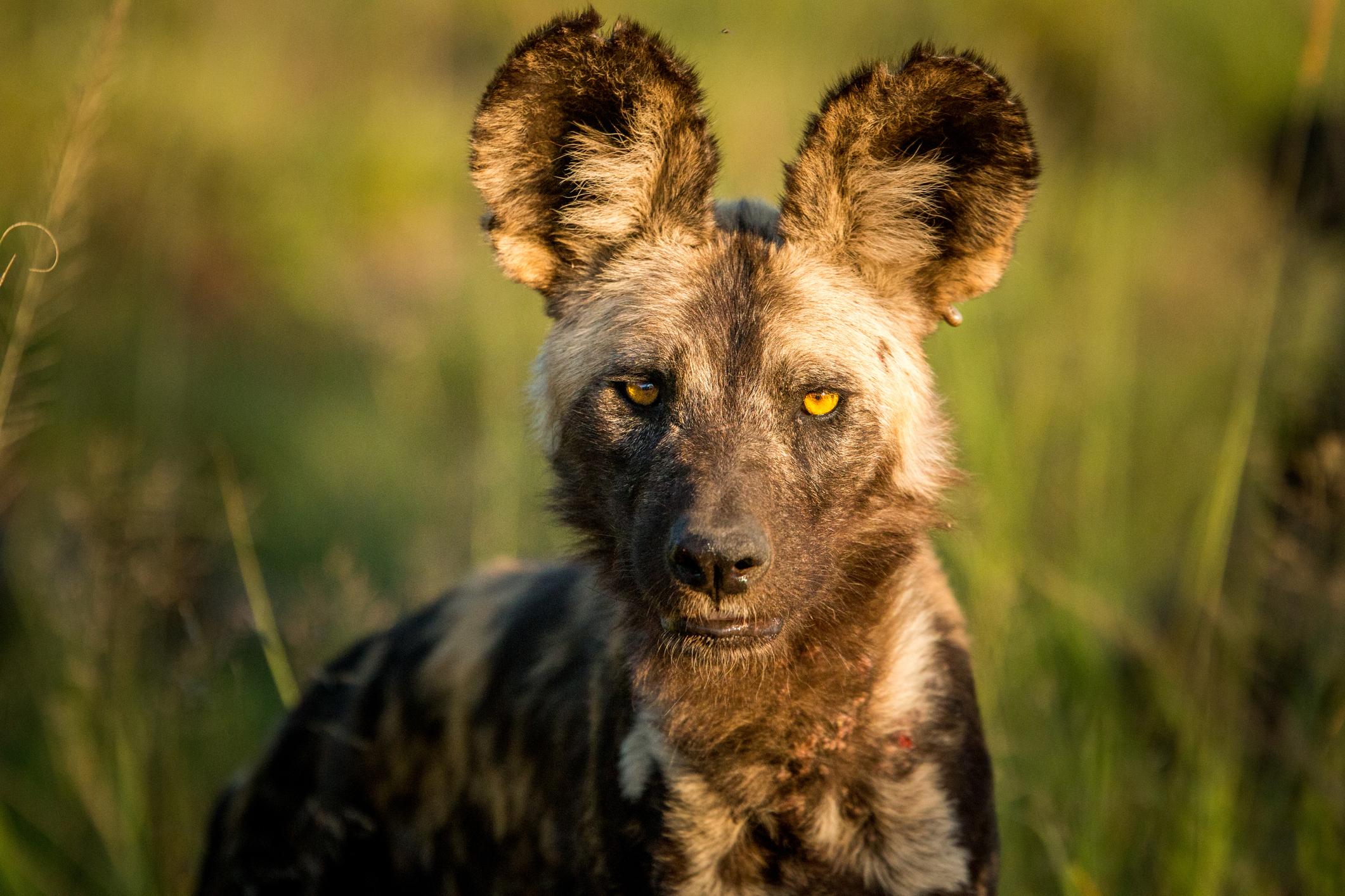 Lycaon Ou Chien Sauvage | Afrique Du Sud Découverte serapportantà Animaux Sauvages De L Afrique