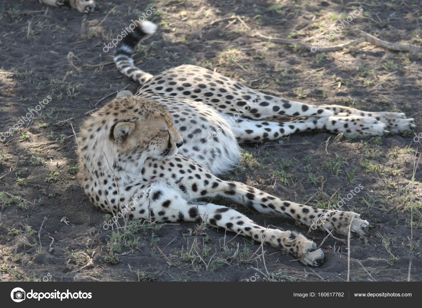 Mammifères Animaux Sauvages De La Savane Afrique Botswana intérieur Animaux Sauvages De L Afrique