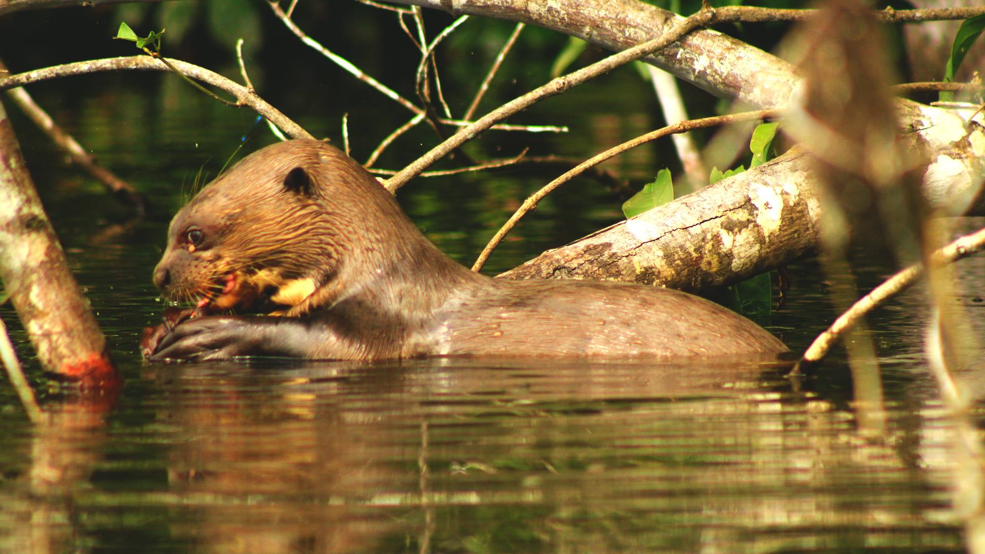 Nos Projets – Concession De Conservation Yanayacu-Maquia En serapportantà Dauphin Amazonie