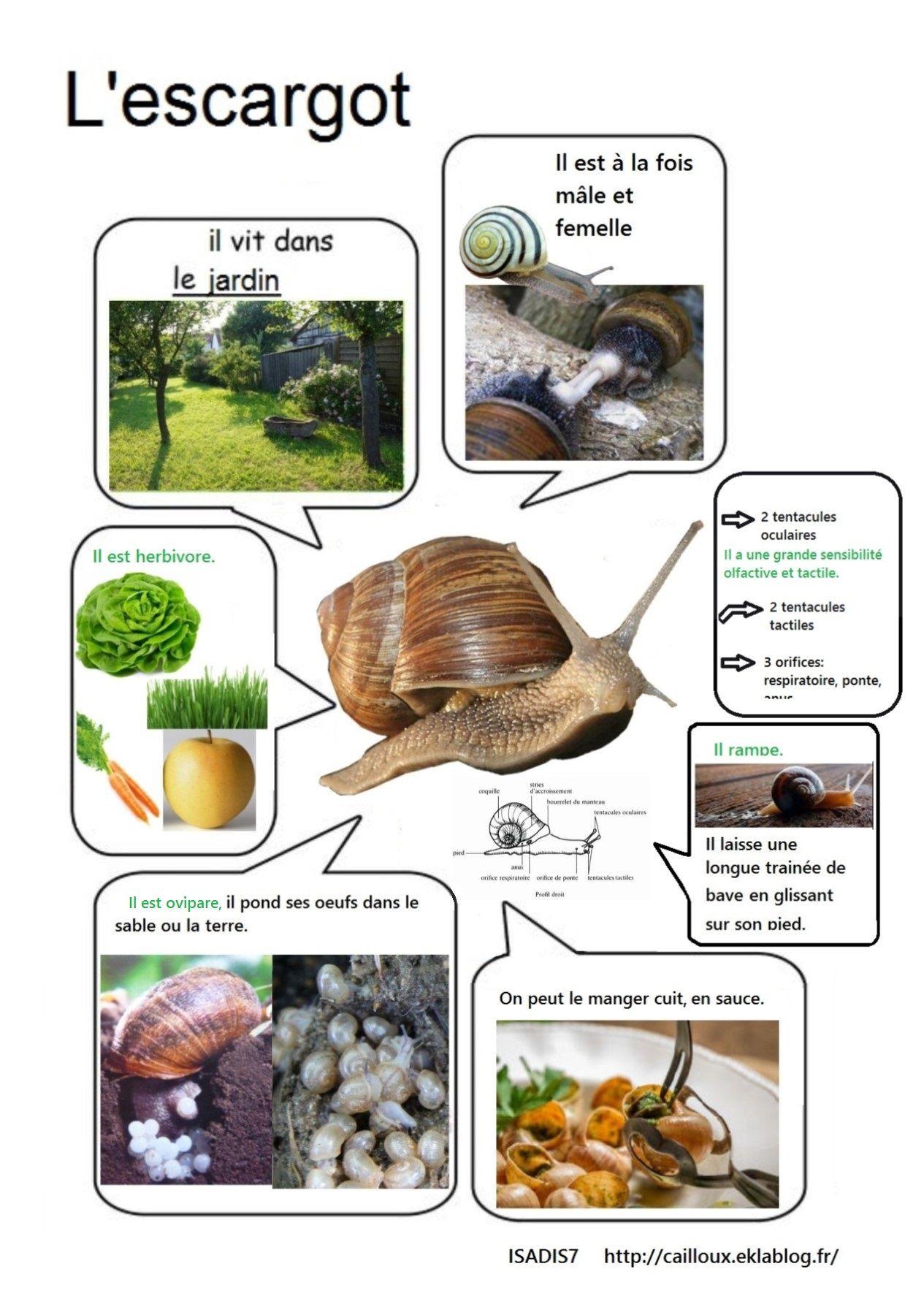 Notre Élevage D'escargots (Avec Images)   Escargot pour Elevage Escargot