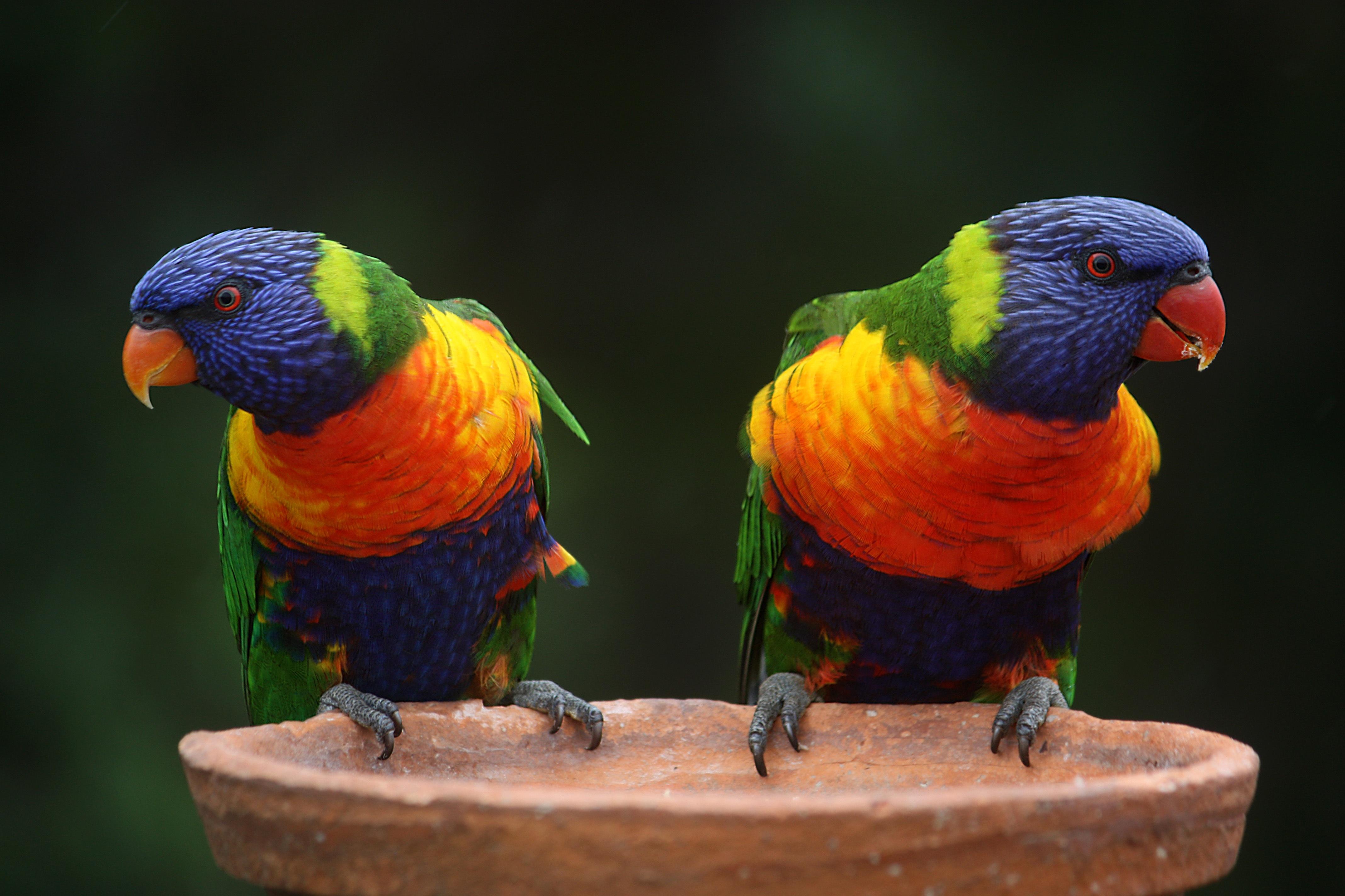 Oiseau Deux Perroquets Colorés Images Photos Gratuites destiné Images D Oiseaux Gratuites