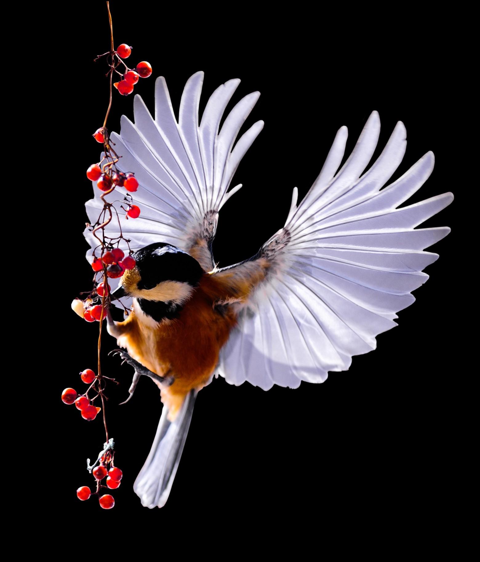 Oiseau Mésange Vol Photos Gratuites | Images Gratuites Et à Images D Oiseaux Gratuites