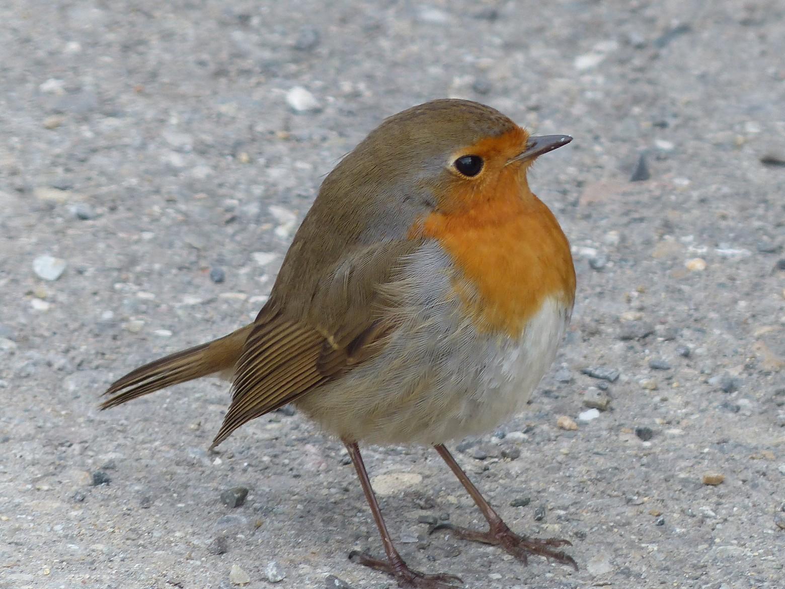 Oiseau Robin Images Photos Gratuites | Images Gratuites Et encequiconcerne Images D Oiseaux Gratuites
