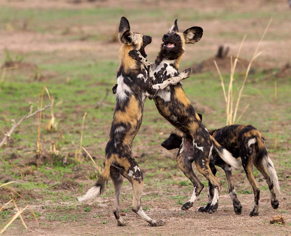 Où Trouver Le Chien Sauvage D'afrique ? | South African serapportantà Animaux Sauvages De L Afrique