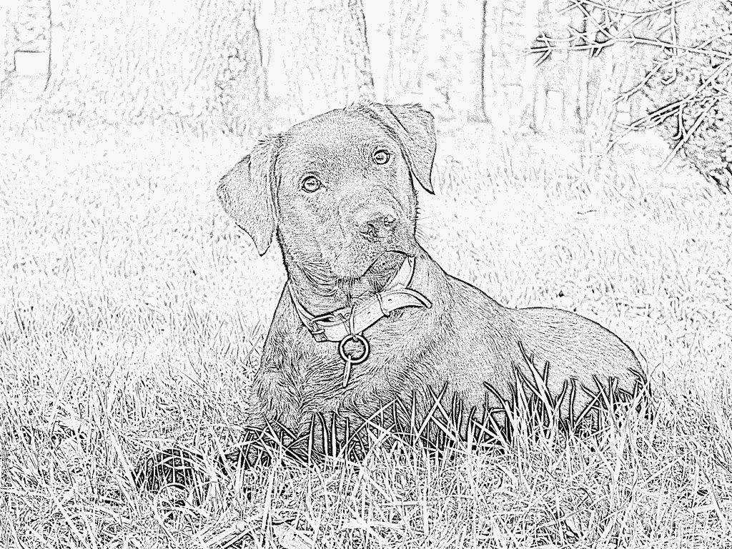 Pin On Coloriage Dessin intérieur Coloriage Labrador