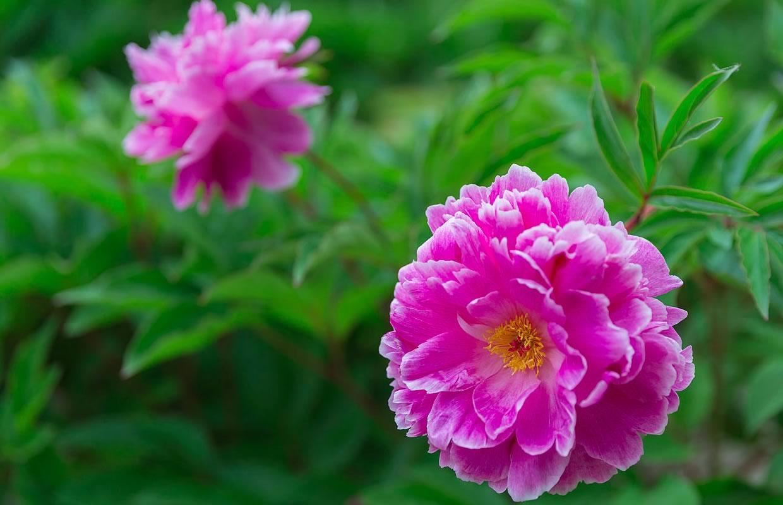 Pivoine - Toutes Les S Sur Les Pivoines Herbacees concernant Fleur Qui Pousse Au Printemps