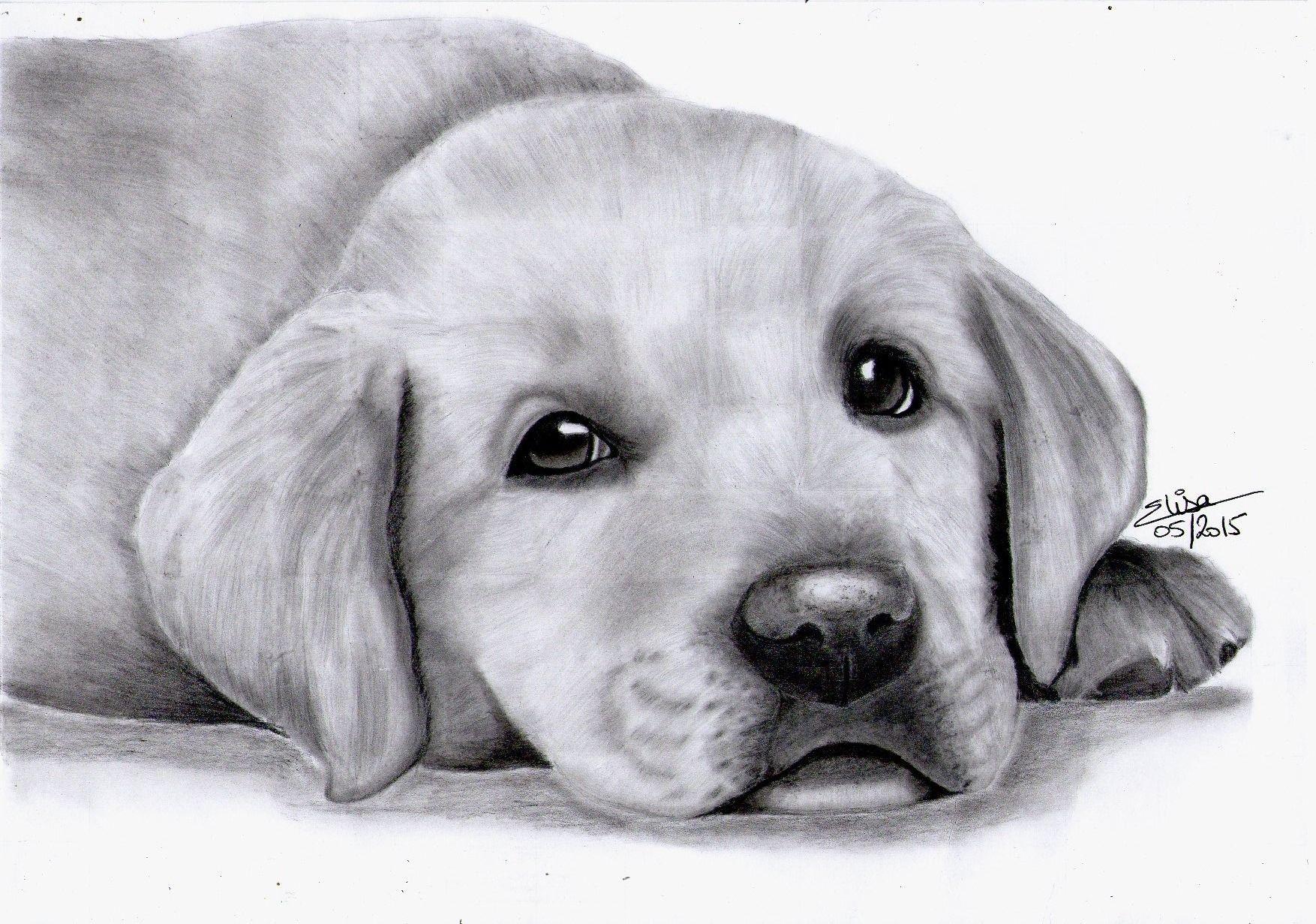 Portrait Dessiné D'un Adorable Chiot Labrador : Dessins Par dedans Coloriage Labrador