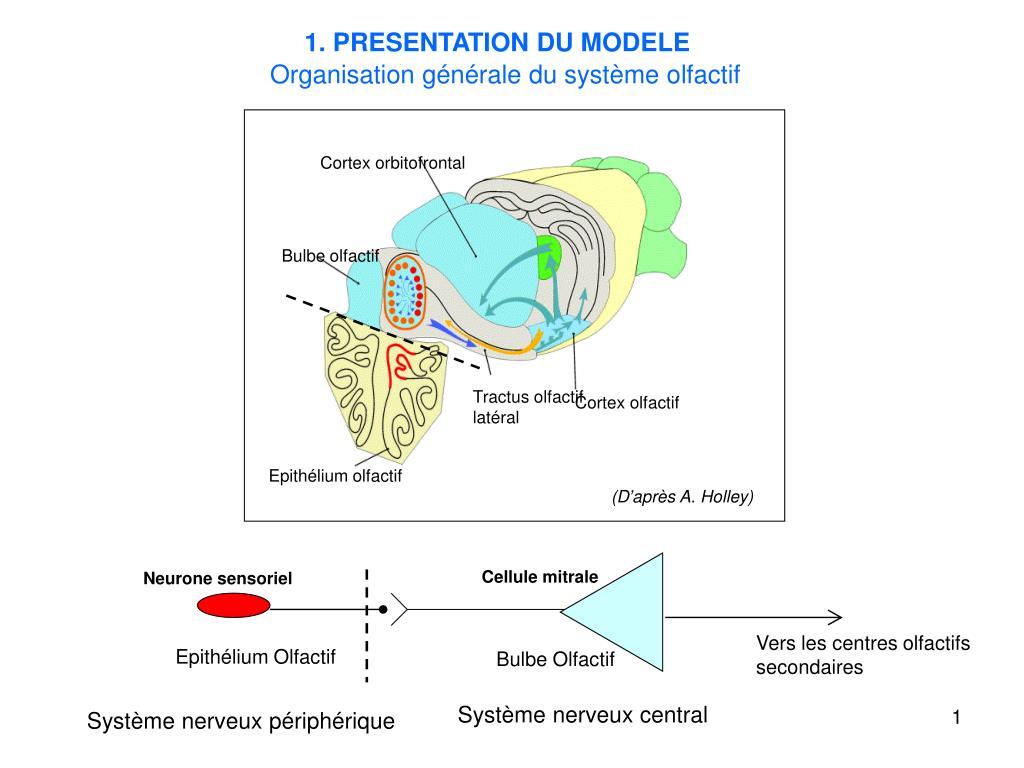 Ppt - Epithélium Olfactif Powerpoint Presentation, Free intérieur Sens Olfactif