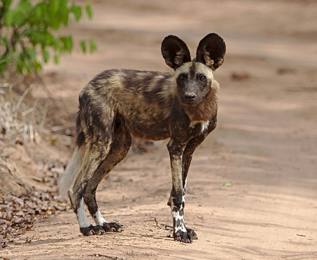 Précieuse Dame Nature • - Lycaon - Loup Peint - Chien serapportantà Animaux Sauvages De L Afrique