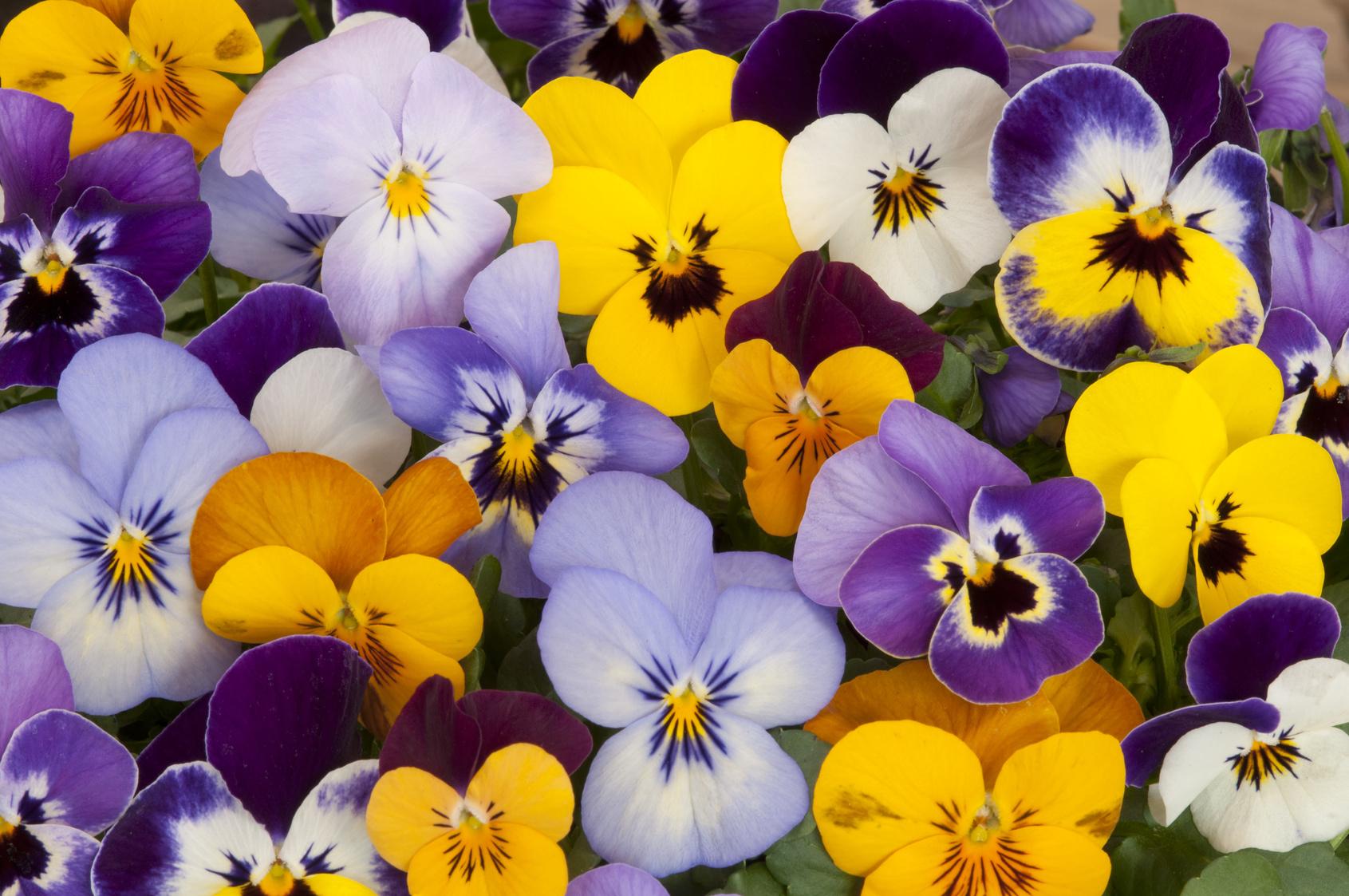 Quelles Fleurs Résistent À L'hiver ? pour Fleur Qui Pousse Au Printemps
