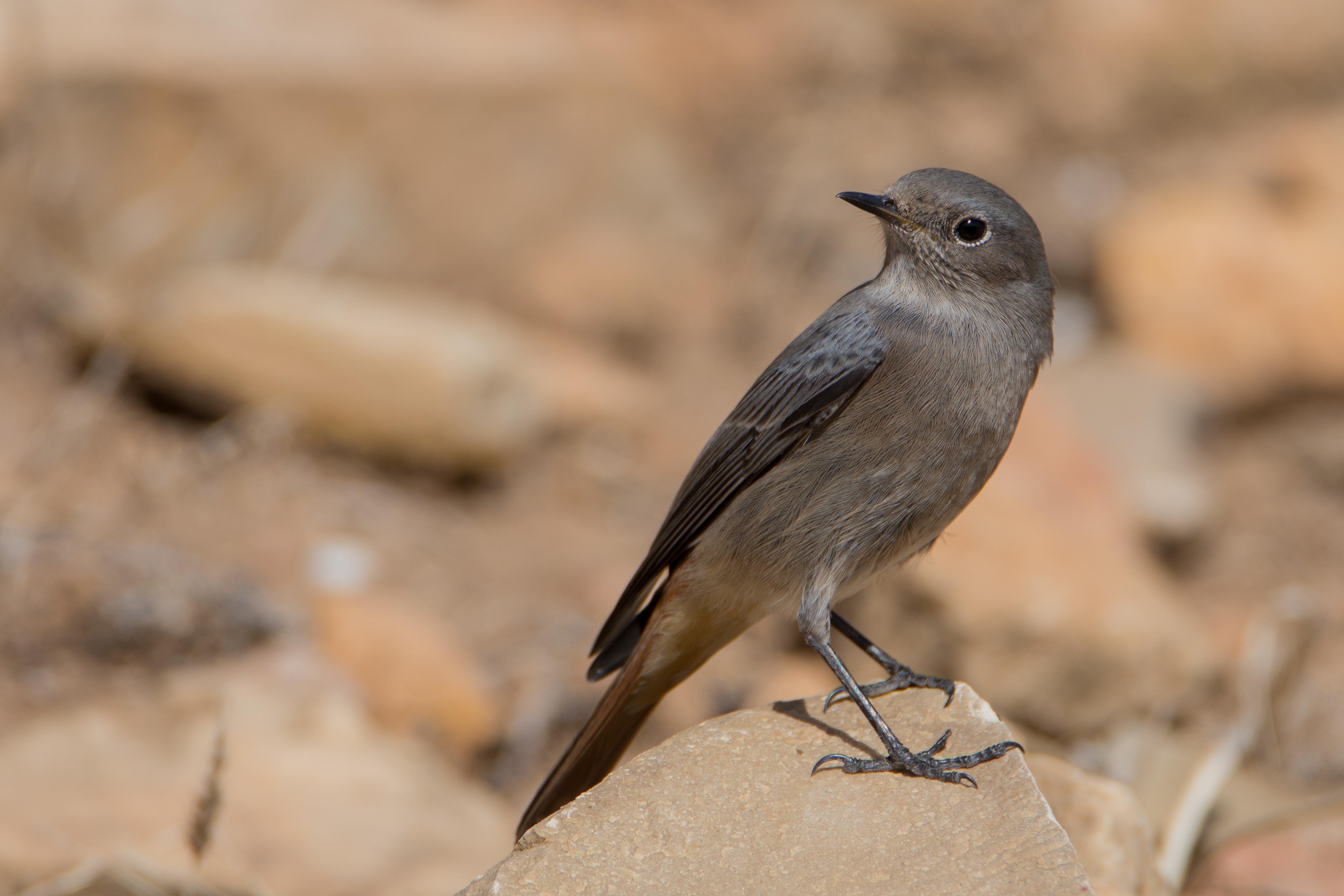 Rougequeue Noir — Wikipédia avec Vol Petit Oiseau