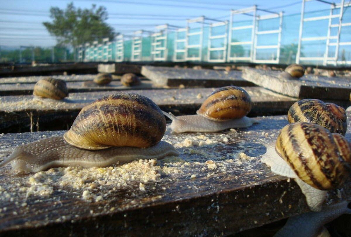 Saint-Galmier   Visite D'un Élevage D'escargots À Saint-Galmier intérieur Elevage Escargot