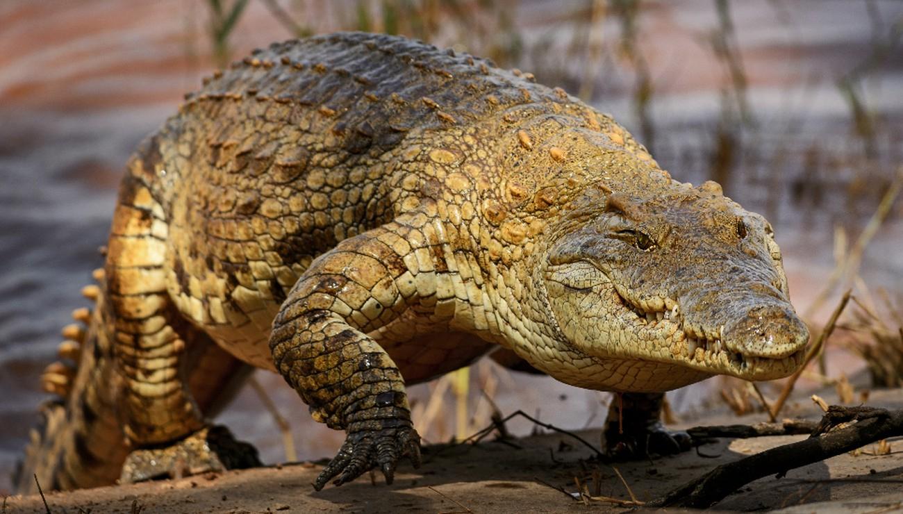Sur Les Bords Du Nil, Espèces De Crocodiles ! | Pour La Science dedans Photo De Crocodile A Imprimer