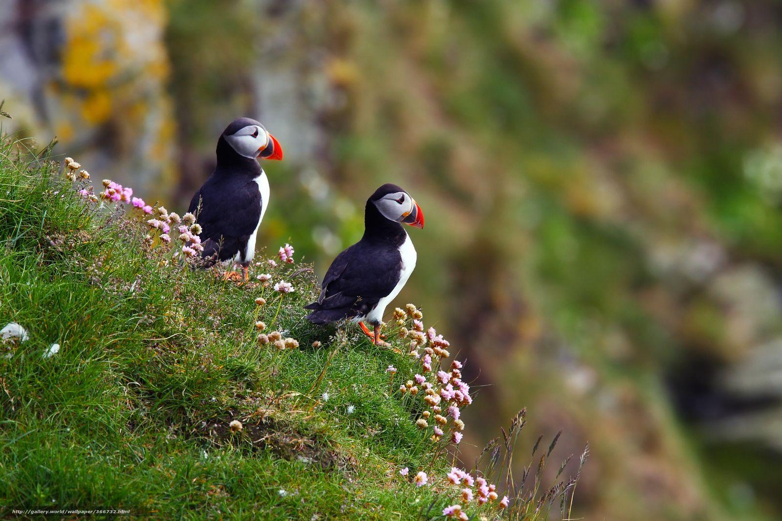 Tlcharger Fond D'ecran Oiseaux, Macareux Moine Fonds D'ecran intérieur Images D Oiseaux Gratuites