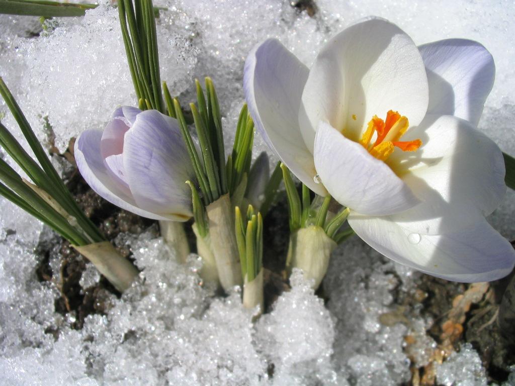 Toutsurtout.biz / Bulbes De Printemps (Crocus, Perce Neige) concernant Fleur Qui Pousse Au Printemps