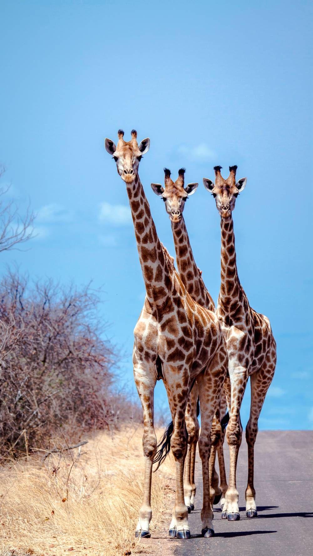 Trois Girafes Intriguées - Photo Animaux - Photo Animaux concernant Animaux Sauvages De L Afrique