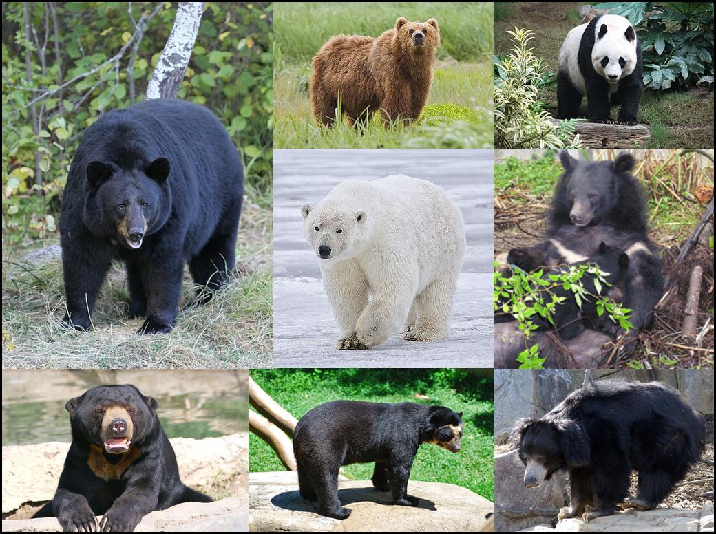 Ursidae — Wikipédia destiné Ours Savant
