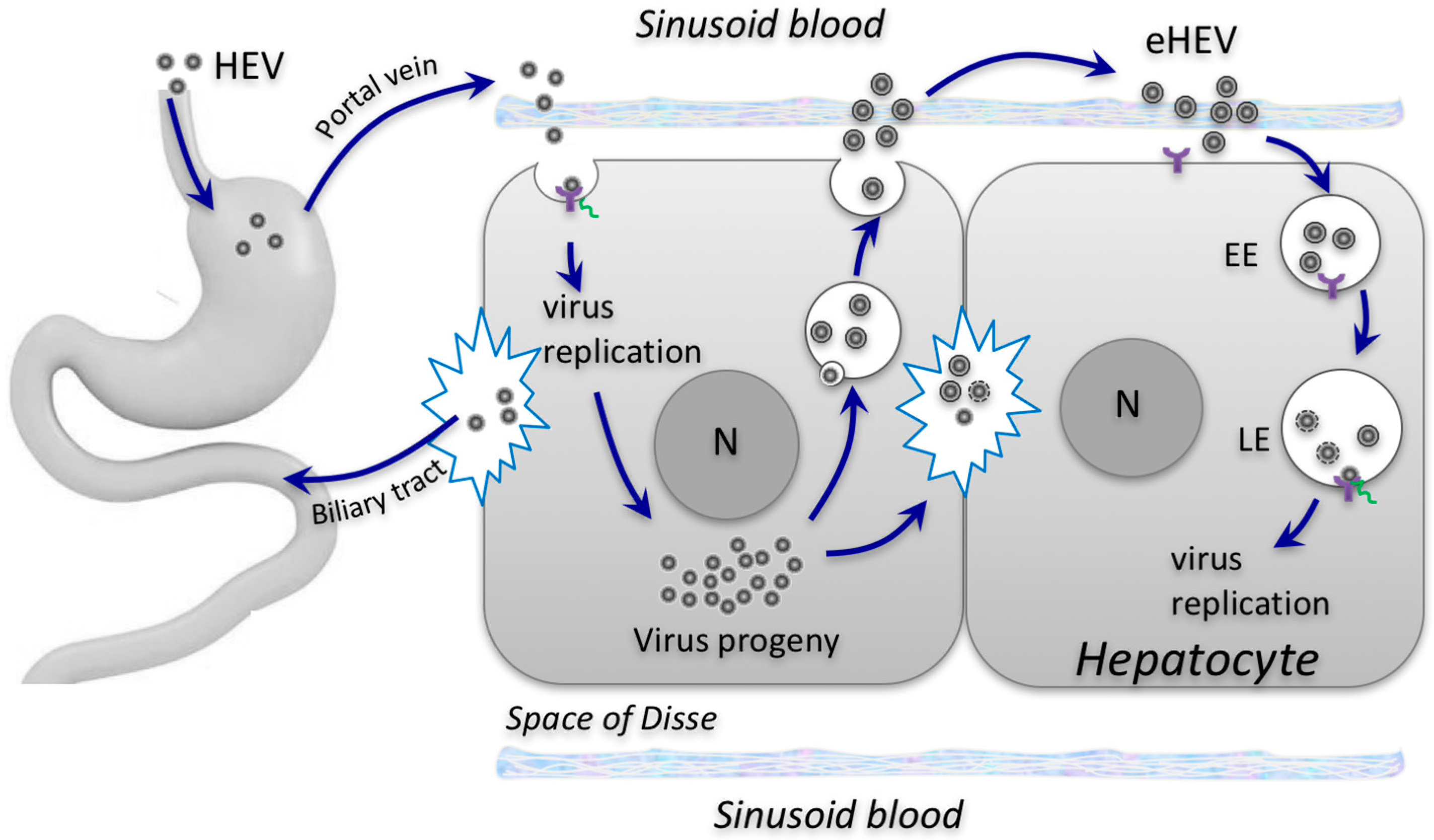 Viruses | Free Full-Text | Role Of Envelopment In The Hev à Musique Cycle 2