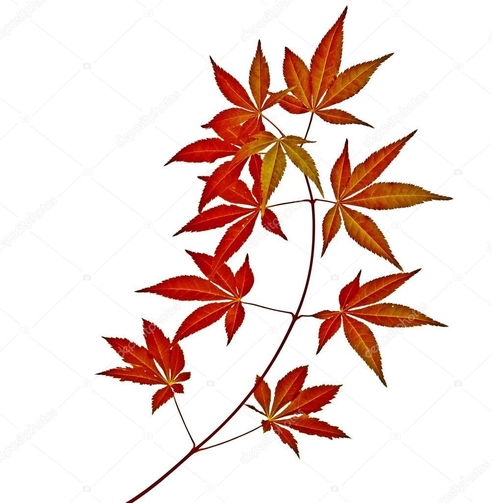 Feuilles D'Arbre Japonais Rouge Automne Érable (Acer serapportantà Feuille D Érable Dessin
