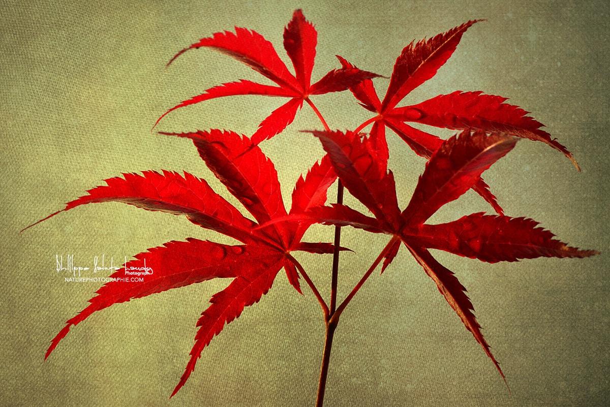 Feuilles D'érable Rouge – Naturephotographie serapportantà Feuille D Érable Dessin