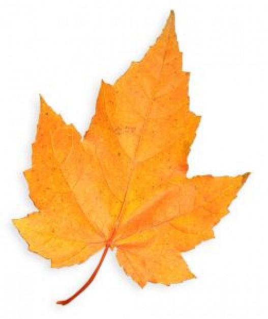 Golden Maple Leaf Photo | Free Download intérieur Feuille D Érable Dessin