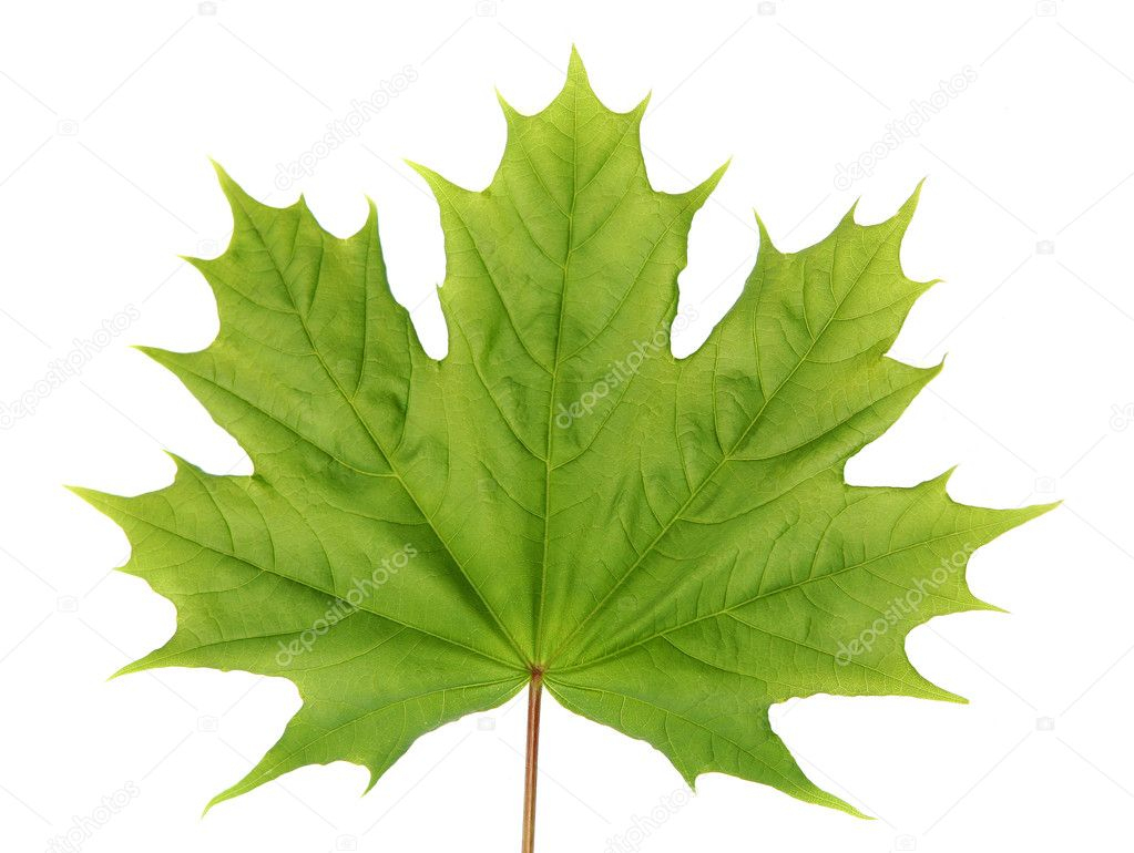 Green Maple Leaf — Stock Photo © Spopov #1391683 pour Feuille D Érable Dessin