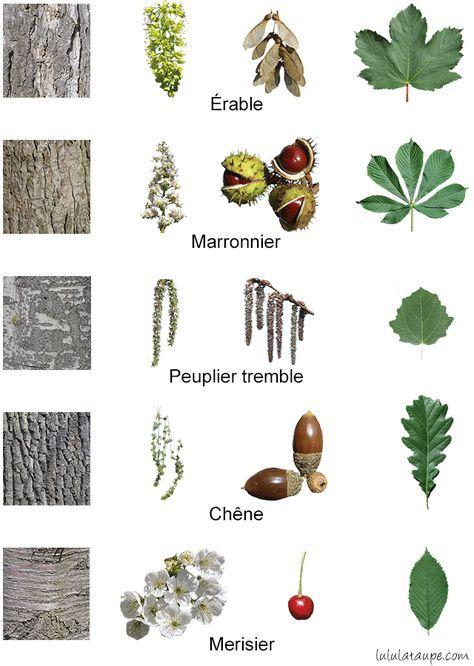 Les Arbres De La Forêt, Fleurs, Fruits, Écorce Et Feuilles avec Feuille D Érable Dessin