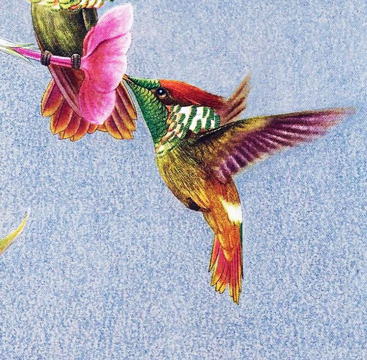 1950 Planche Originale Ancienne Couleur Colibri Huppé destiné Coloriage Oiseaux Tropicaux