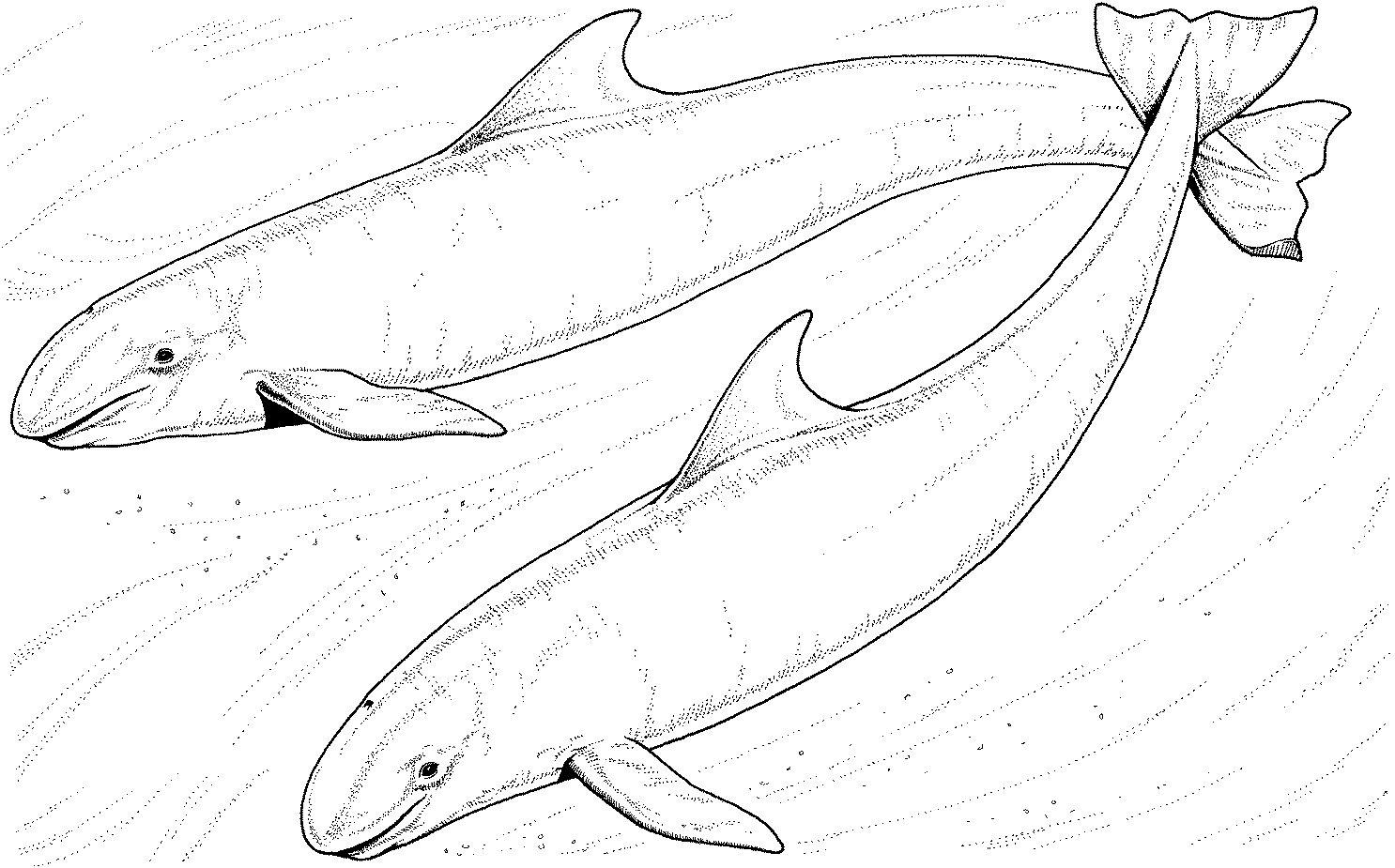 247 Dessins De Coloriage Baleine À Imprimer Sur Laguerche serapportantà Coloriage Baleine A Imprimer Gratuit