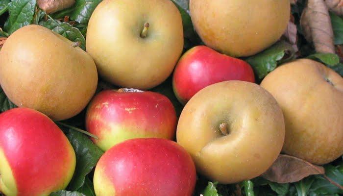 Adam'S Apples: Pomme De Reinette Et Pomme D'Api encequiconcerne Pomme De Renette