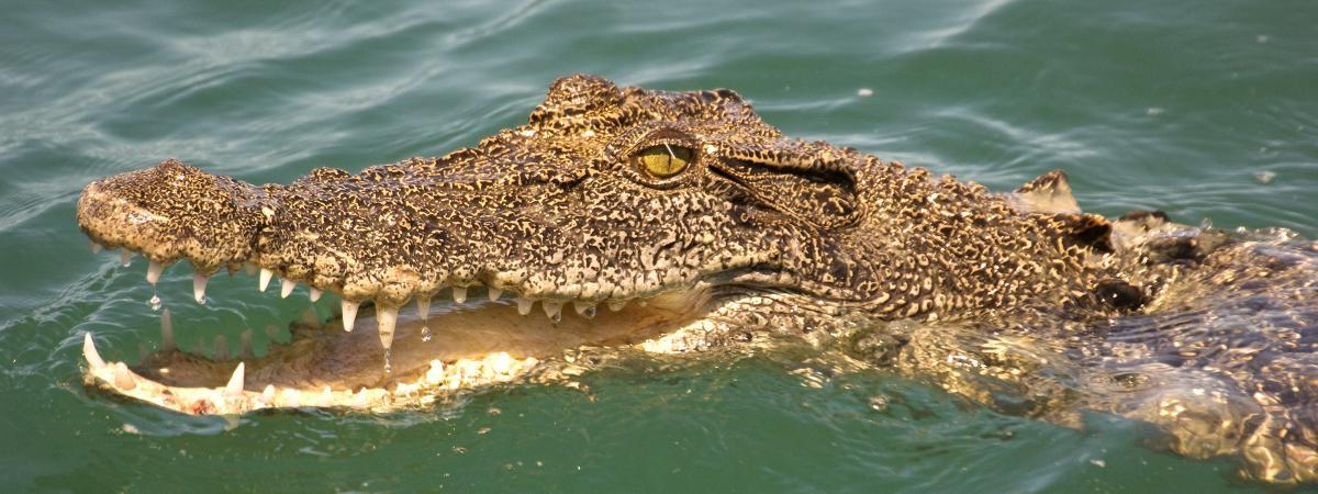 Australie : Attaqué Par Un Crocodile, Il Survit En Lui pour Y Avait Des Crocodiles