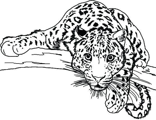 Baby Snow Leopard Coloring Pages At Getcolorings tout Coloriage Panthere