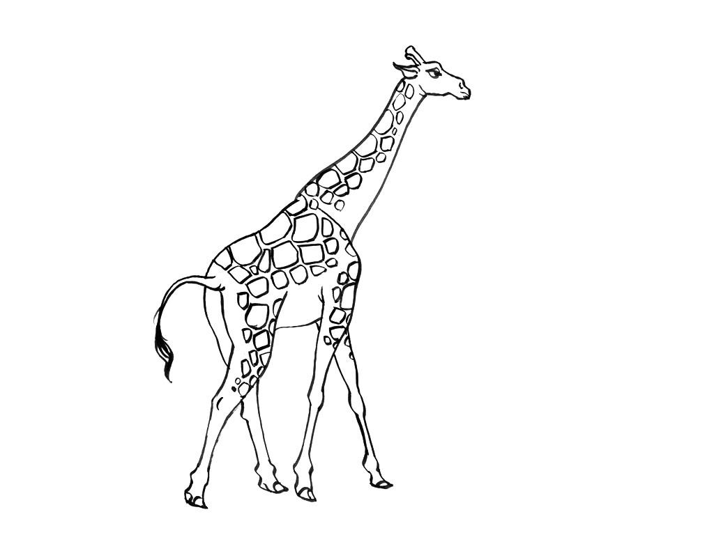 Belle Coloriage De Girafe A Imprimer | Haut Coloriage Hd pour Coloriage Girafe A Imprimer Gratuit