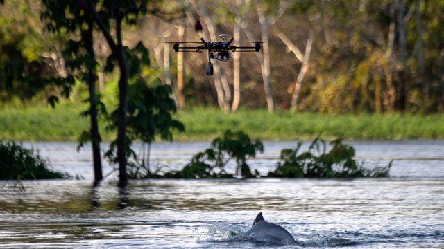 Brésil: Les Drones Au Service De La Préservation Des dedans Dauphin D'Amazonie