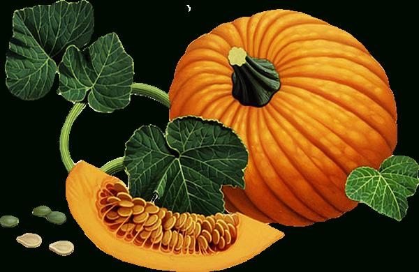 Citrouille Png, Dessin, Courge, Potiron / Pumpkin Clipart tout Courge Dessin