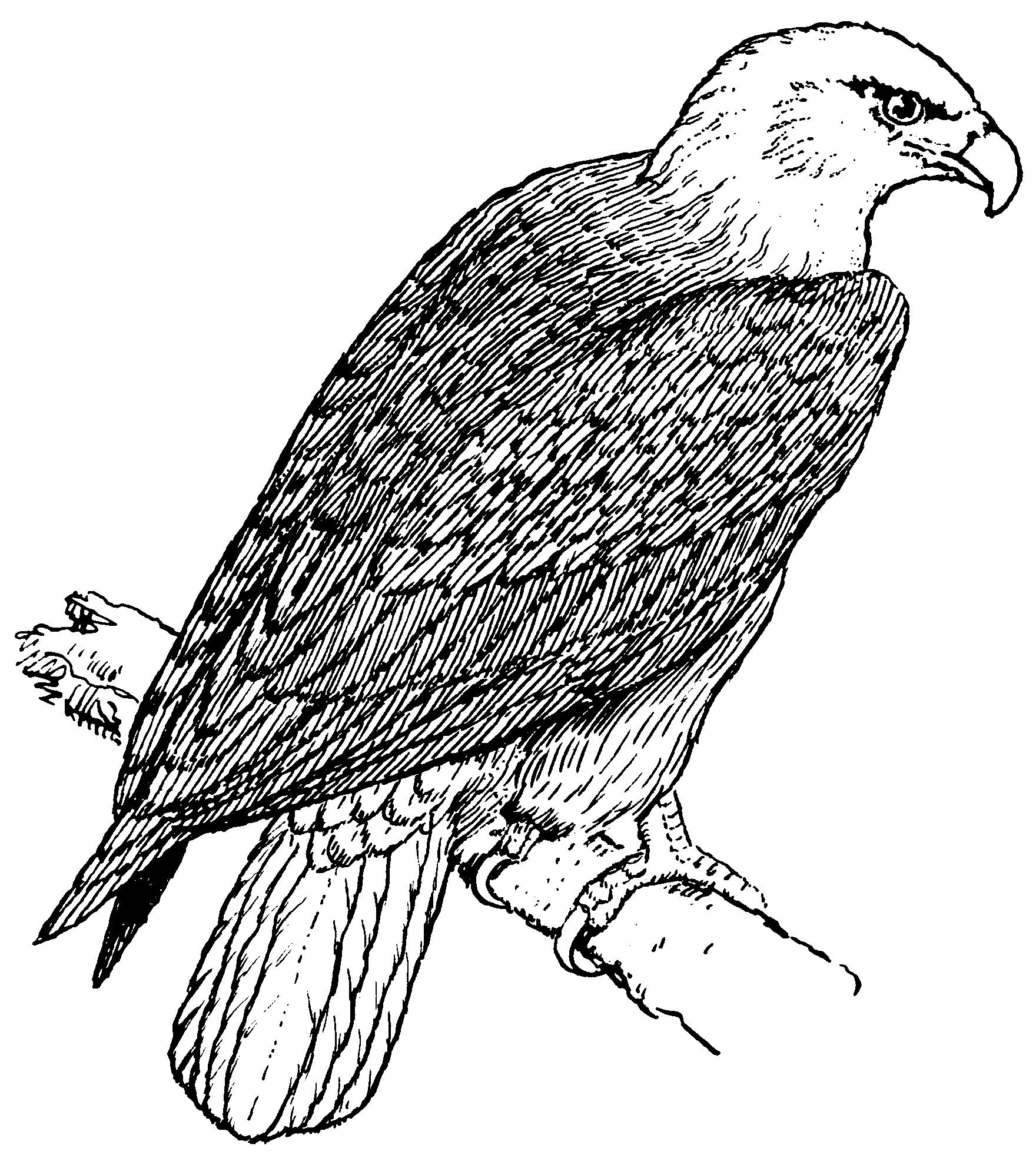 Coloriage Aigle À Imprimer Pour Les Enfants - Cp00507 pour Coloriage Aigle A Imprimer Gratuit