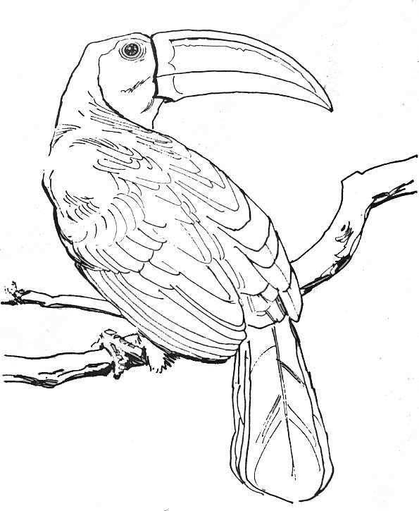 Coloriage Animaux Foret Amazonienne   Coloriage Animaux avec Coloriage Oiseaux A Imprimer